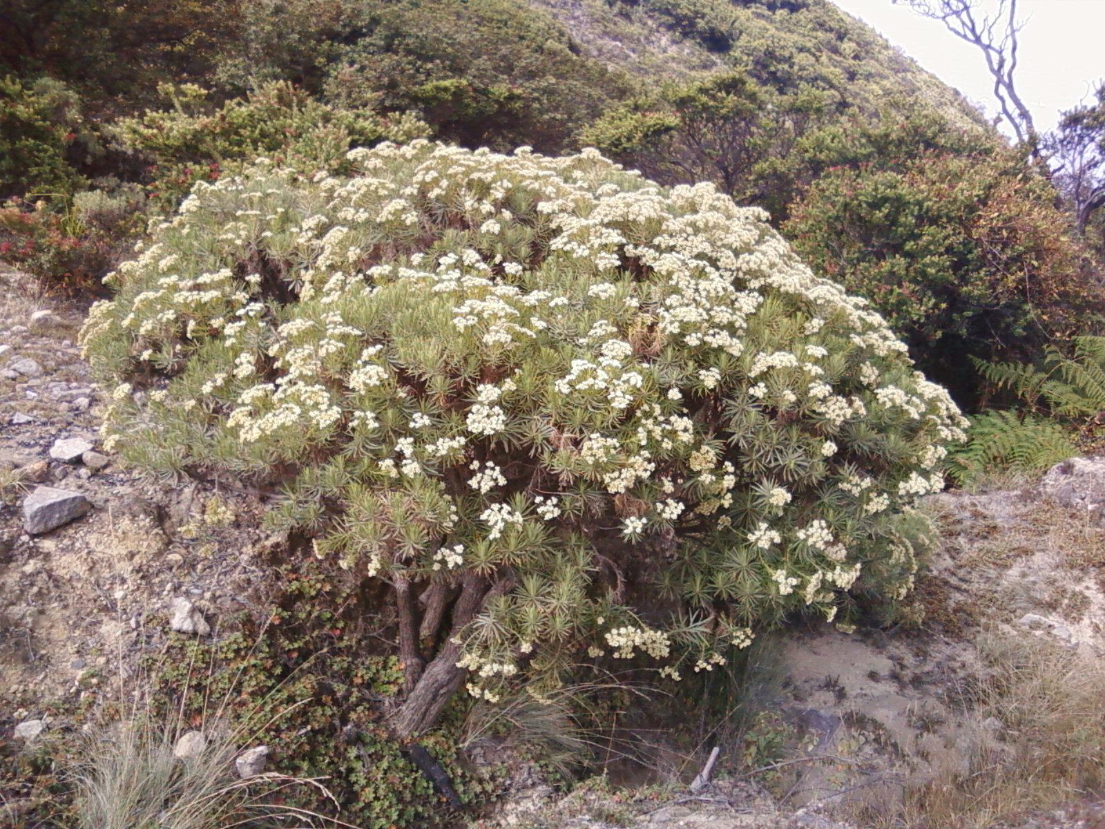 Edelweis Bunga Abadi Lambang Ketulusan Dan Pengorbanan Cinta