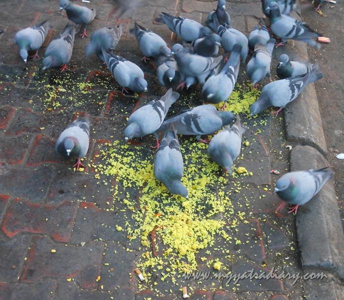 Pigeon eating Pohe Amruteshwar Pune