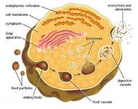Ini dia penjelasan tentang apa itu lisosom, sel dalam tubuh dari pengertian dan fungsi lisosom