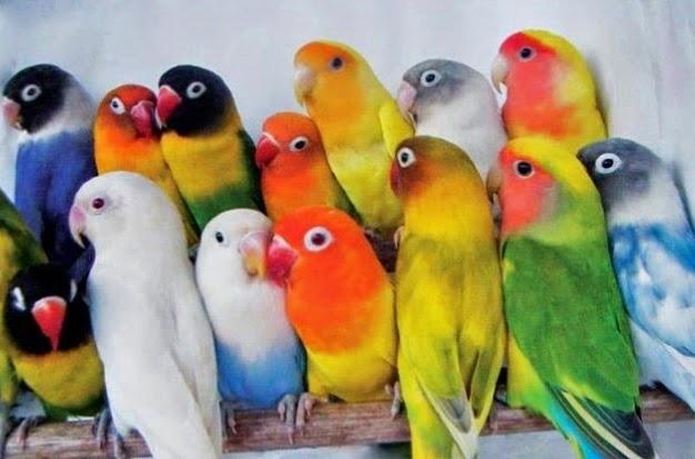 daftar 8 macam jenis love bird