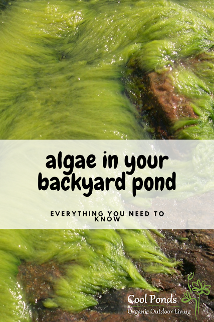 algae in your backyard pond