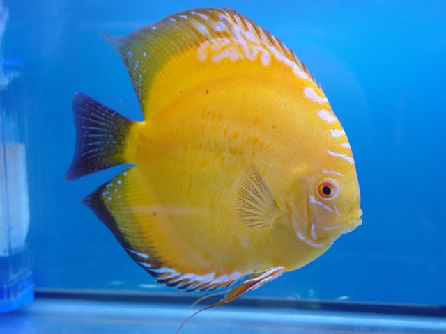 Dunia Ikan Hias - DISCUS GOLD YELLOW DIAMOND