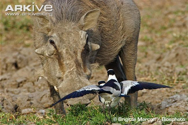 interactions between african wildlife blacksmith lapwing