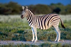 interesting facts about Zebra