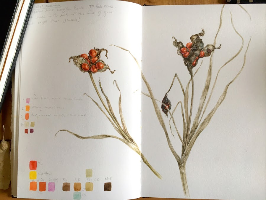 Iris foetidissima seed pod watercolour