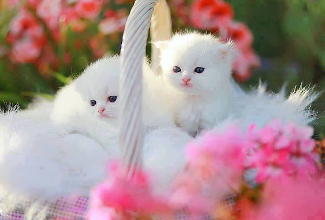 Beautiful White cats