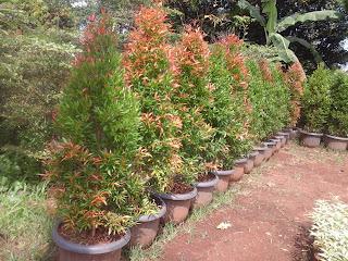 tanaman pot pucuk merah 2 meter