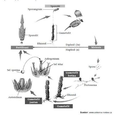 Klasifikasi Kingdom Plantae dari Tumbuhan Tidak Berpembuluh (Bryophyta, Hepatophyta, Anthocerophyta)