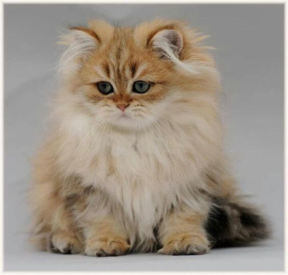Unduh 95+  Gambar Kucing Anggora Terbesar Di Dunia Paling Baru HD