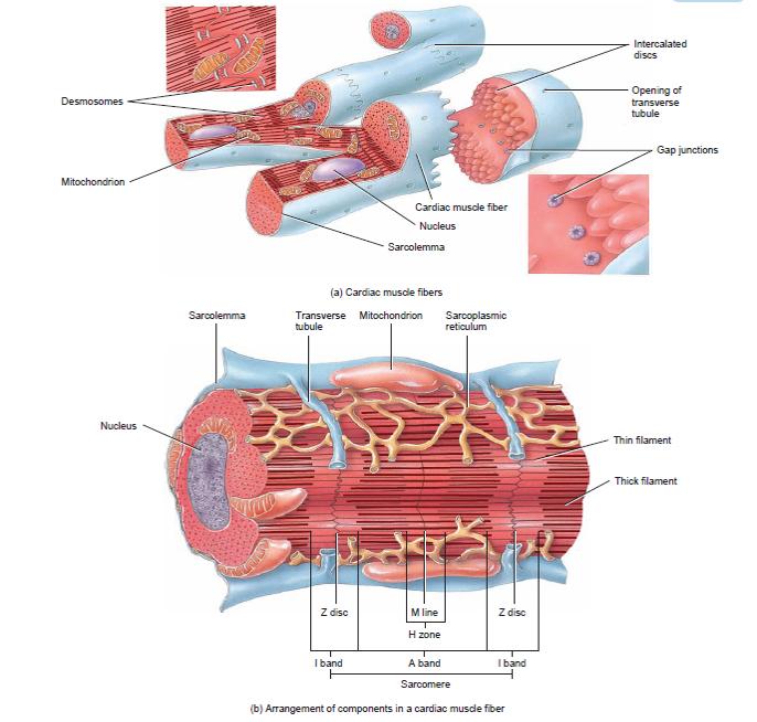 Mekanisme Kerja Otot Jantung Dan Sistem Konduksi Jantung