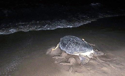 penyu pulang ke laut setelah bertelur