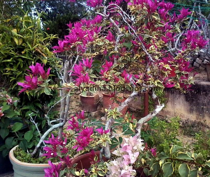 Bunga Kertas Bulang