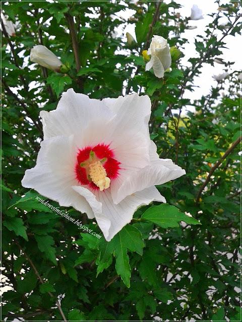 Biały kwiat: hibiskus ogrodowy