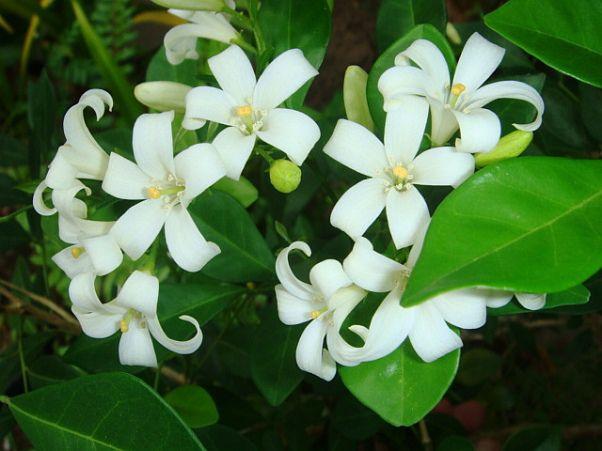 Cerbung Bunga Kemuning Bagian 1