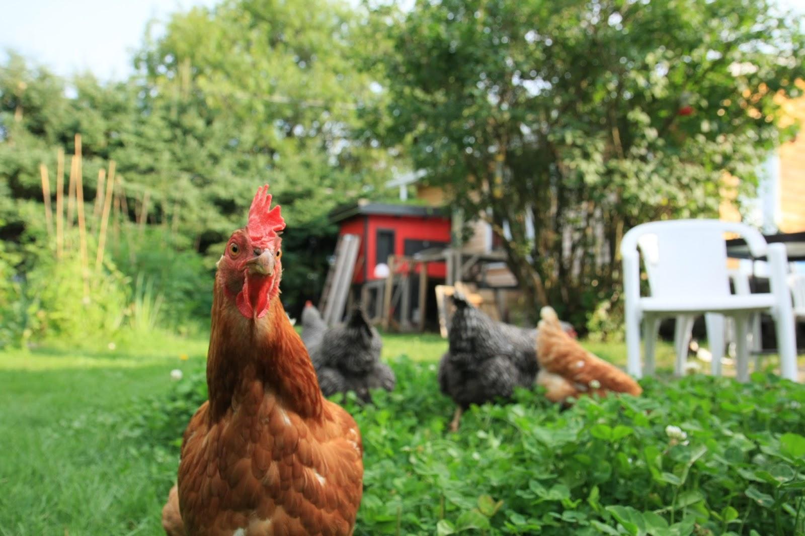 Breuillet nature des poules pondeuses dans son jardin - Avoir des poules dans son jardin ...