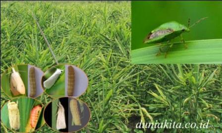 5 hama dan penyakit tanaman jahe dan cara mengendalikannya