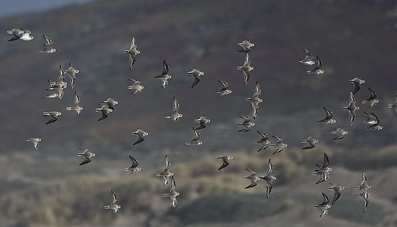 Flock of Bastards