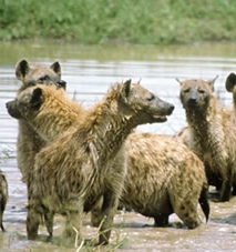 Amazing Hyenas Facts