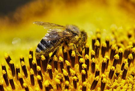 ABEJAS EN GIRASOL - BEES IN SUNFLOWER.