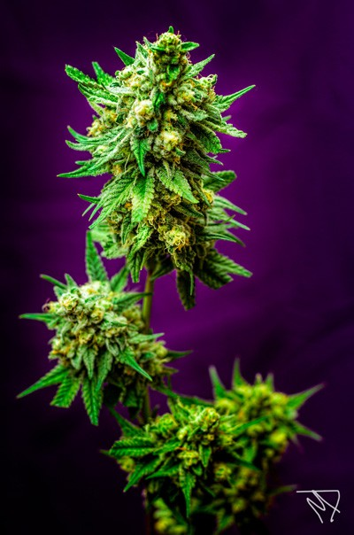 Mickey Kush strain, hight CBG, hight CDB, marihuana medicinal, medihuana