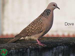dove, dove bird, ঘুঘু