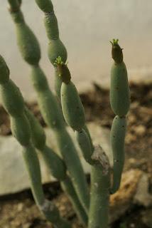 Euphorbia alluaudii subsp. oncoclada