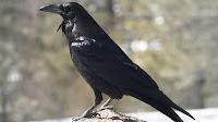 Raven bird pictures_Corvus albicollis