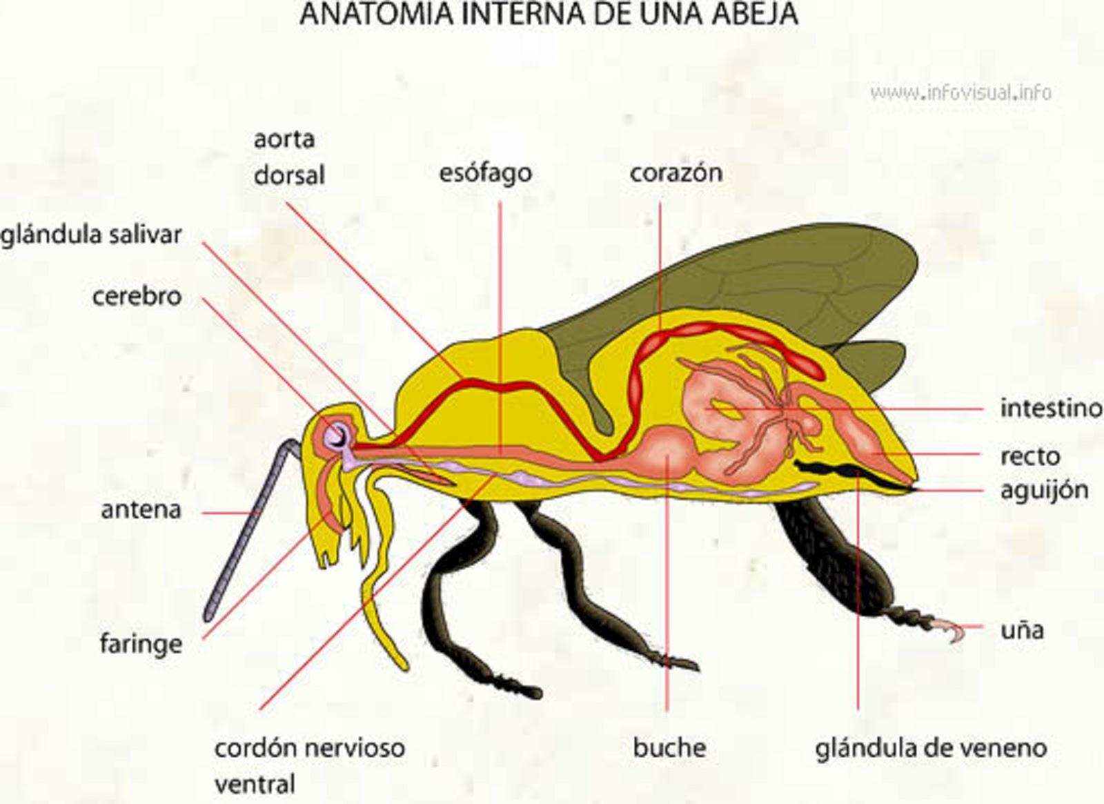 bumble bee diagram schematic wiring of a house parroquia sagrada familia la abeja