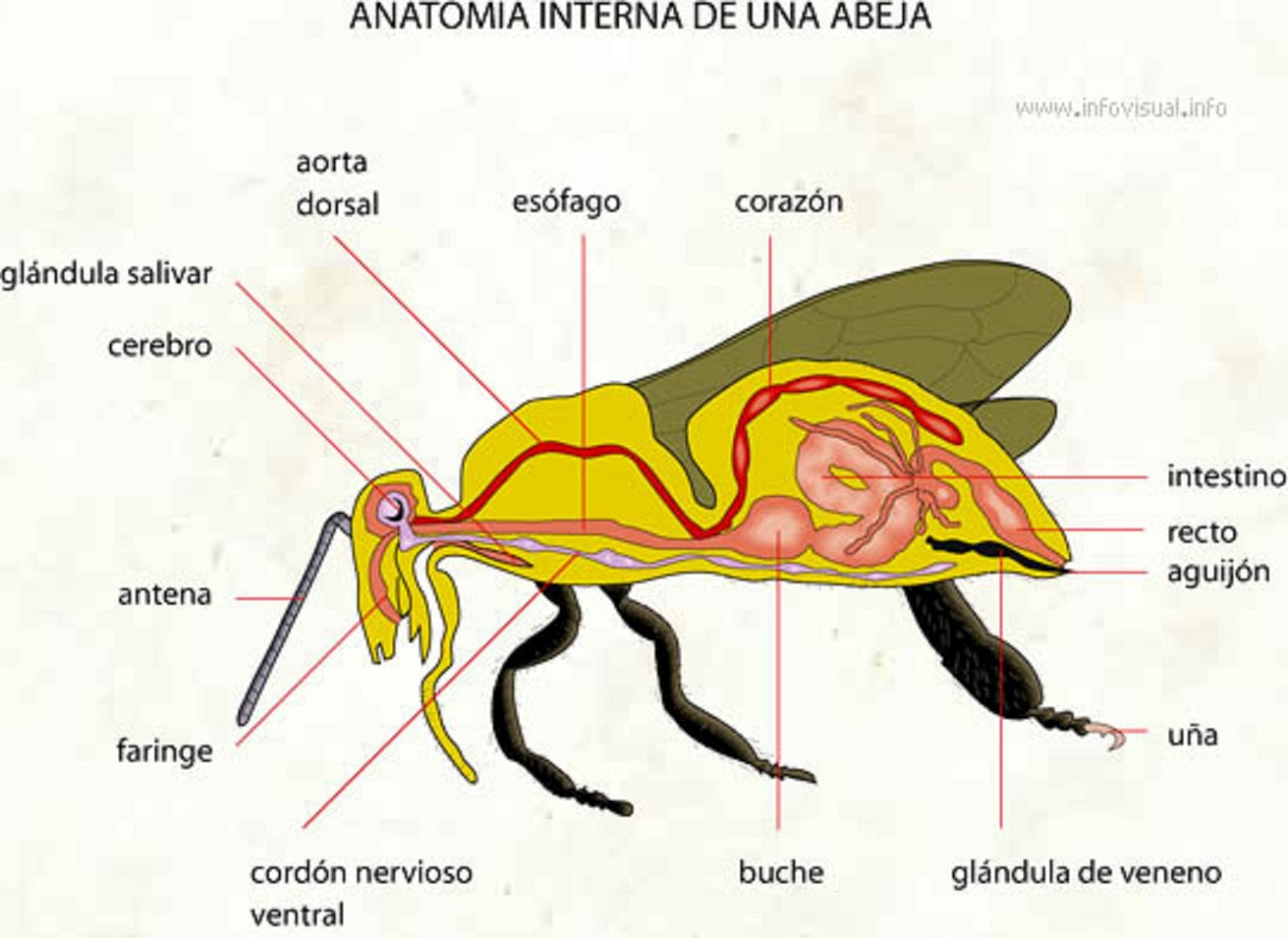 Digestion Diagram Crop Bell Door Entry Systems Wiring Parroquia Sagrada Familia La Abeja