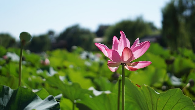 Seductive beauty of the Lotus in summer heat