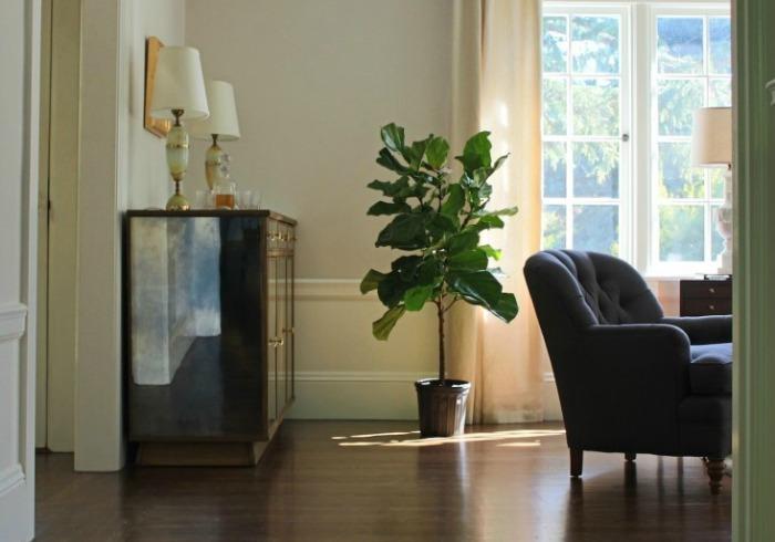 Ficus lyrata, una planta muy decorativa en el interior de casa ...