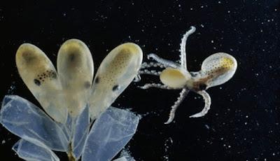 Mengintip Bayi Gurita Yang Menetas Dari Telurnya