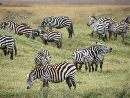 zebras and lions - photo #26
