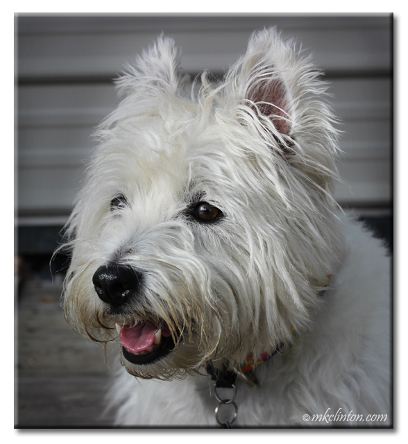 Close up of Pierre the White West Highland Terrier