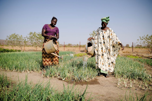 African women attending to their onion crop