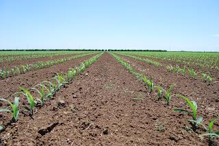 http://3.bp.blogspot.com/-4VgZTtifTKc/UG3v6u8F4UI/AAAAAAAAA2A/-I_gEeTR7lg/s1600/drip+irrigated+corn.jpg