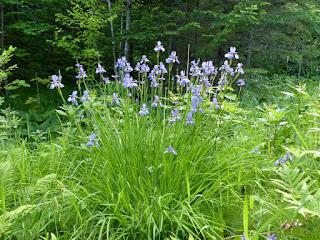 Iris versicolore - Clajeux - Iris versicolor