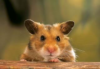 hamster sirio problemas dentales