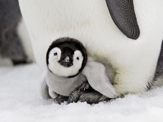 imparator pengueni