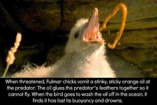 Ayam Fulmar