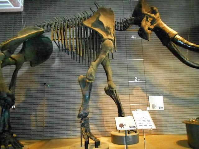 巨大マンモスの骨格の模型