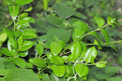 planta medicinal para la diabetes tipo 2 - Gymnema sylvestre