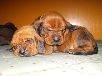 Redbone Coonhound Dog and Puppies