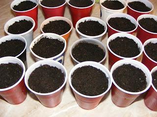 Plantarea semintelor de rosii in pahare de plastic,