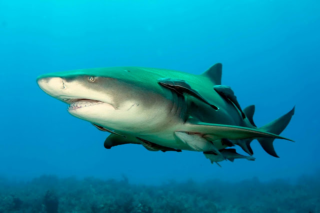 Pcture of Lemon Shark