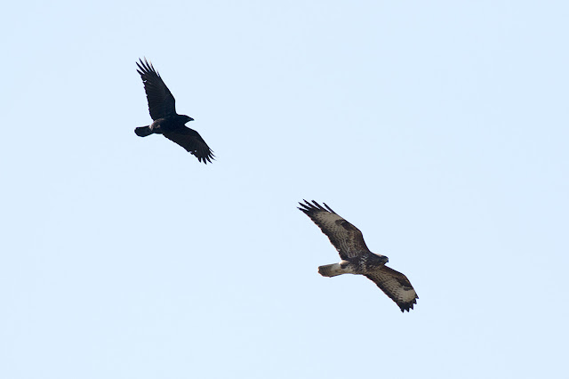 The 6th Buzzard of the day being harassed by a Crow