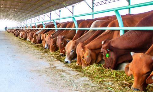 Đại gia Việt đổ xô nuôi bò thịt, bò sữa.