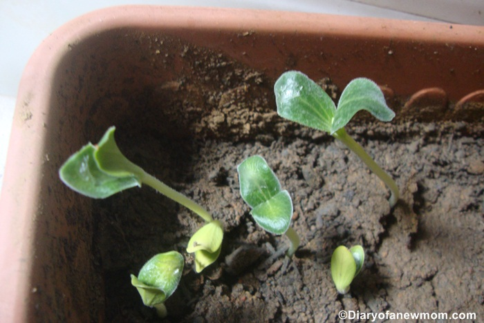 We love watching Pumpkin seeds grow to plants