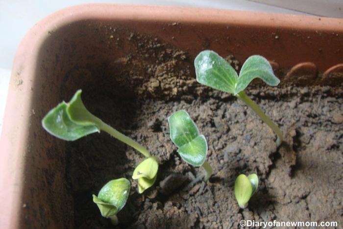 We love watching Pumpkin seeds grow to plants