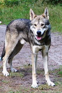 Comparison with wolves-dog-dog breeds-pet